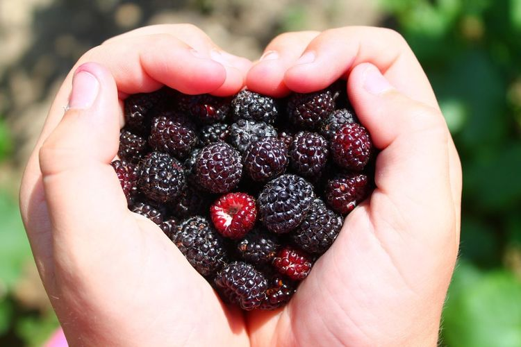 Cropped hands holding blackberries