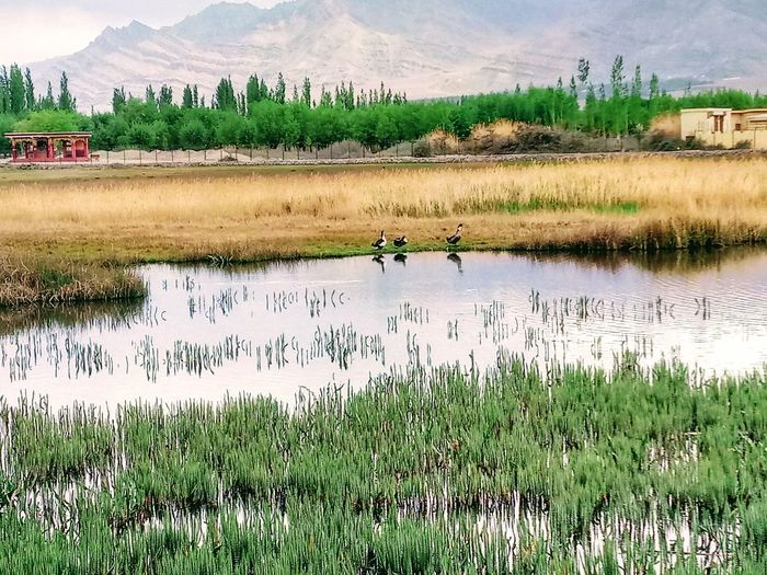 Can it be more heartwarming- nature at its best Pond Mushy Land Ducks Mountains And Sky Valley City Peaceful Water Grassland Small Huts Trees Nature Photography Peace Amd Tranquility Happiness Countryside No Particular Place Random Click Instinctive Click Cold And Windy Vacation Time Journey Roadtrip Destination Seeking Travel Photography Ladakh Diaries The Street Photographer - 2018 EyeEm Awards The Great Outdoors - 2018 EyeEm Awards The Traveler - 2018 EyeEm Awards