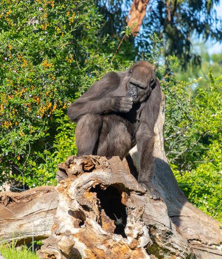 Gorilla on tree trunk Tree Animal Animal Themes Mammal Animal Wildlife Animals In The Wild Monkey Plant Primate Nature Day Sitting No People Vertebrate One Animal Ape Sunlight Wood - Material Outdoors Baboon