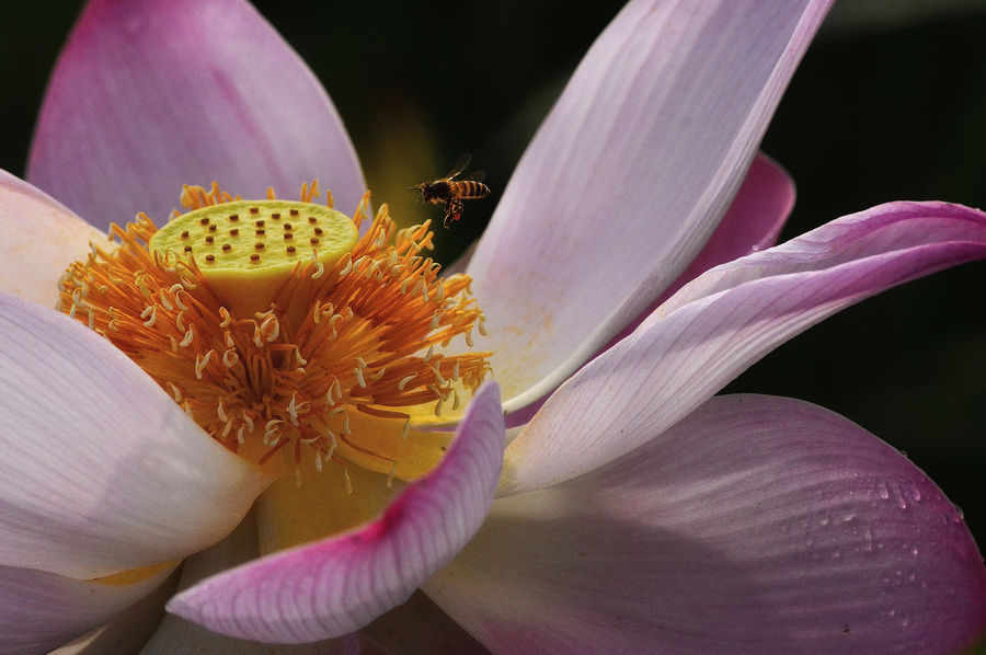 Little Bee Lotus Flower Morning Light Beauty In Nature Beauty In Nature Bee Close-up Flower Flying Light And Shadow Little Bee Nature Outdoors Pink Color