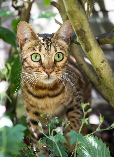 Close up portrait of a striped bengal cat with large green eyes stalking its prey in undergrowth