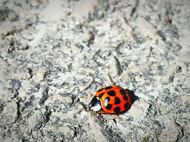 Ladybug Lady Bird Insects  Nature