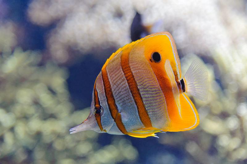 Copperband butterflyfish (Chelmon rostratus) Chelmon Rostratus Copperband Butterflyfish Animal Aquarium Butterflyfish Coral Fish Marine Marine Aquarium Nature Sea Sea Life Swimming Underwater Water
