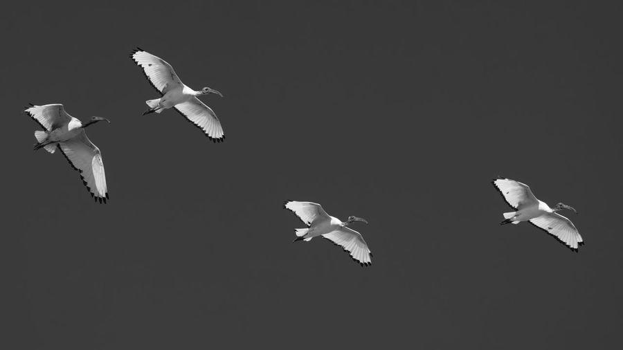 Birds flying over black background