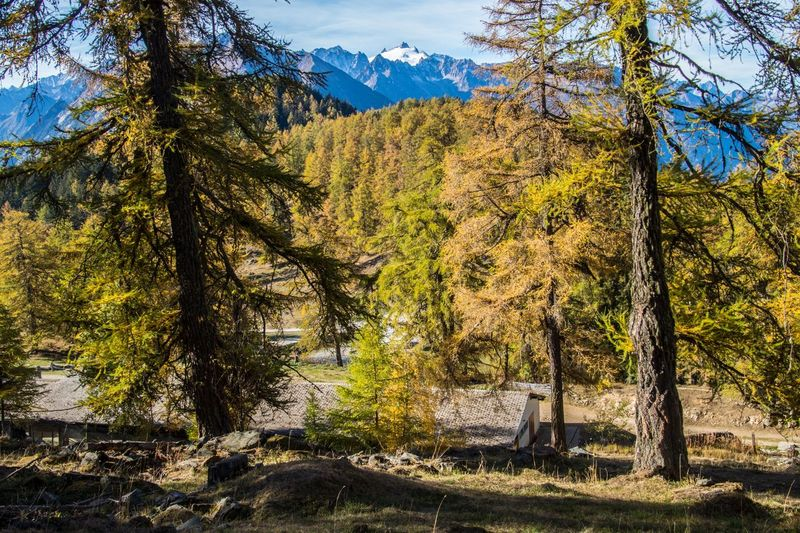 col of lien,valais,swiss Plant Tree Beauty In Nature Land Tranquility Nature Scenics - Nature Mountain Tranquil Scene Tree Trunk Growth Environment Trunk Day No People Forest Landscape Non-urban Scene Sky Sunlight Outdoors Pine Tree Coniferous Tree Pine Woodland
