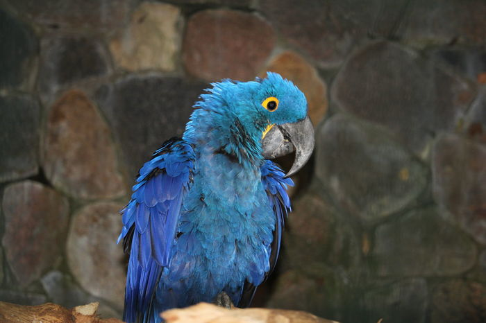 Vogelpark Walsrode Vogelfotografie Bird Photography Hyacinth Macaw Hyacinth Arra Bird Macaw Peacock Parrot Perching Blue Portrait Feather  Looking At Camera Beak