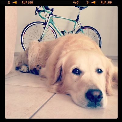 Goldenretriever Bianchi Bianchiinfinito TRIATHLON