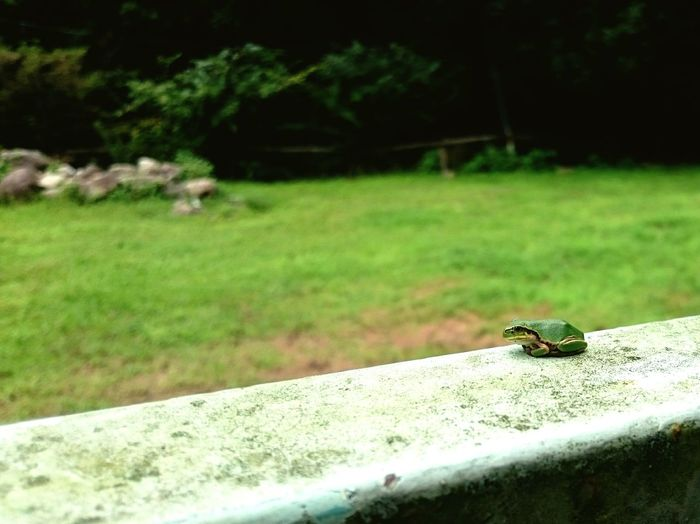 Taking Photos Relaxing Enjoying Life Japan Summer2015 Halu's Photo Frog 蛙 雨蛙