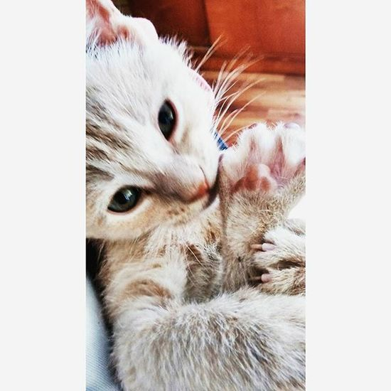 Bebé😻💜 Catoftheday Catlife Cat Cats Catofinstagram Prettykitty Catlover Mypet Lovemypet Love Pet Petstagram Followforfollow Followback Followme Follow4follow Gato Gatostagram Gatito Gatita  Bebe Mascotas Mimascota Argentina