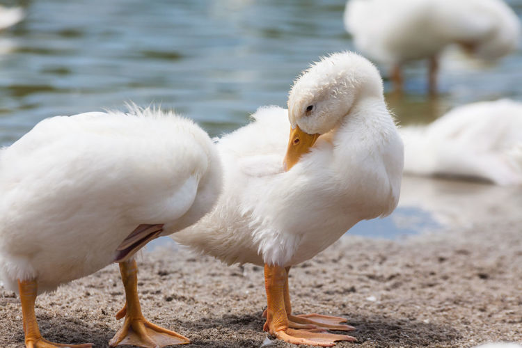 Real white duck in a farm with pond No People Day Nature Duck Ducks Duckling Ducks At The Lake Real People Farm Animal Animal Themes Vertebrate Bird White Color Water Animal Wildlife One Animal Animals In The Wild Focus On Foreground Beak Close-up Lake Young Bird Young Animal Animal Neck