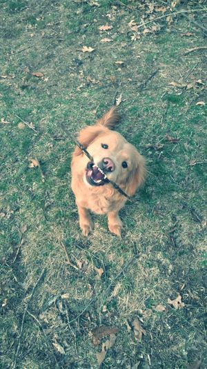 Portrait of golden retriever puppy carrying stick in mouth