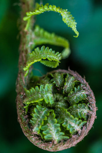 Growth Young Youth Close-up Fern Ferns Focus On Foreground Forrest Freshness Green Color Leaf Nature No People Plant Plant Part Selective Focus