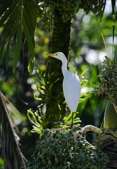 Cattle Egret on palm Big Island Hawaii Animal Themes Animal Wildlife Animals In The Wild Beauty In Nature Bird Close-up Day Focus On Foreground Great Egret Growth Nature No People One Animal Outdoors Plant Tree White Color