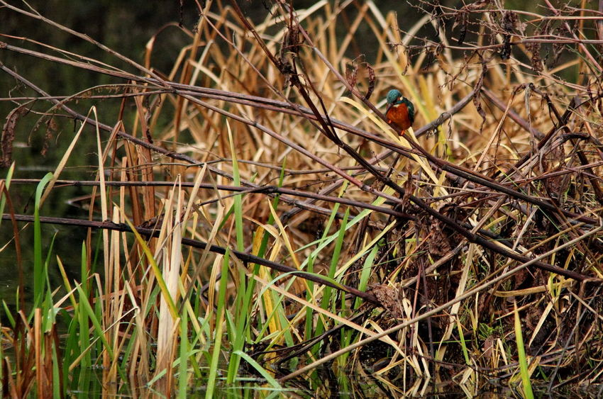 Beauty In Nature Bird Close-up Day Grass Growth Kingfisher Nature No People Outdoors Plant
