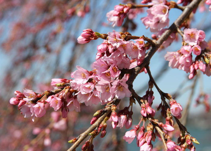 Beauty In Nature Blossom Branch Cherry Blossoms Cherry Tree Close-up Day Flower Flower Head Fragility Freshness Growth Nature No People Outdoors Petal Pink Color Springtime Tree