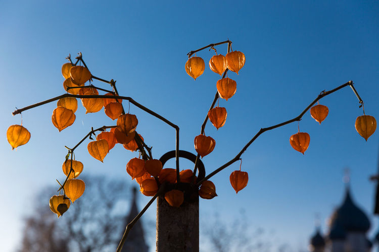 Dry orange Physalis flowers on blue sky background Autumn Church Colourful Composition Japan Natura Natural Orange Plant Sunny Tree Abstract Blue Branch Clear Sky Contrast Day Decoration Floral Flower Nature Outdoors Park Physalis Seasonal