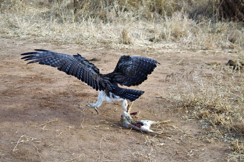 Animal Themes Animal Wildlife Animals In The Wild Bird Bird Of Prey Day Dik Dik Eagle Eagle - Bird EyeEmNewHere Fanned Out Feather  Field Grass Nature No People One Animal Outdoors Spread Wings Vulture