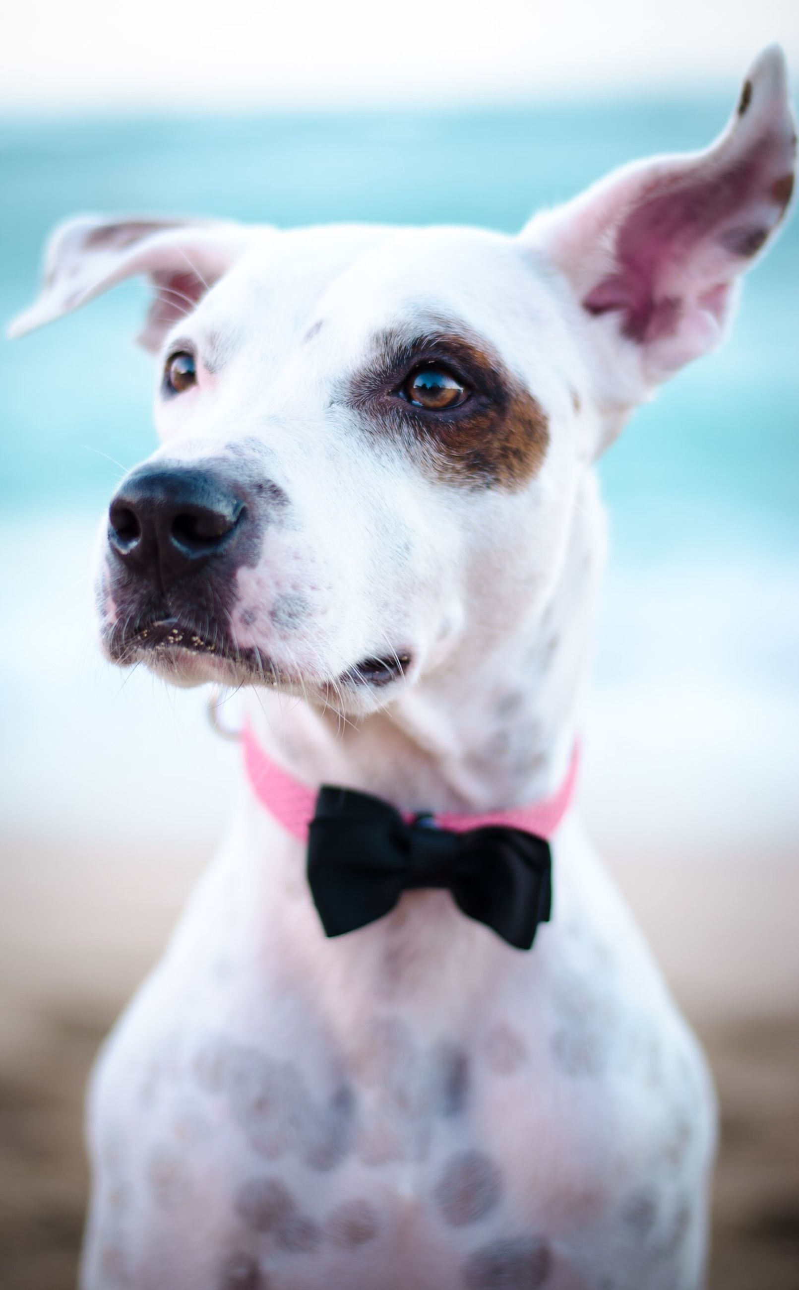 one animal, animal themes, dog, pets, domestic animals, focus on foreground, mammal, portrait, close-up, looking at camera, animal head, pet collar, front view, day, mouth open, outdoors, one person, animal body part, nature