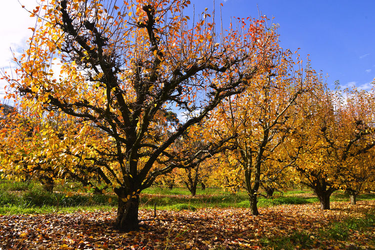 Autumn Autumn colors EyeEmNewHere Autumn Plant Tranquility Tree Autumn Collection Branch Fruit Tree Leaf No People Orchard Outdoors Sunshine