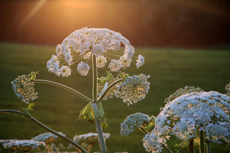 Beauty In Nature Blooming Blossom Bokeh Close-up Cow Parsnip Flower Flower Head Focus On Foreground Fragility Halo Herkuleskraut Hogweed In Bloom Latvia Latvija Latvijasdaba Lettland  Petal Heracleum Stem Heracleum Mantegazzianum Travelling The Baltic States Riesen Bärenklau Heracleum Giganteum