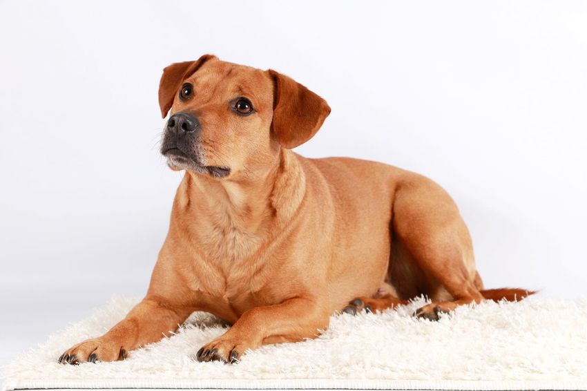 brown mixed dog is lying in the studio for a portrait Aufmerksam Beautiful Braun Haustier Hund Lying Mischlingshund Studio Animal Brown Brown Color Dog Hübscher Hund Indoor Labrador Retriever Liegender Hund Mixed Dog Pets Portrait Retriever Sitting White Background