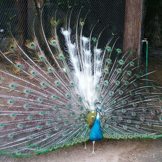 Coolest peacock ever! White and colored feathers! Colorful Peacock Naturesbeauty Rarecolors