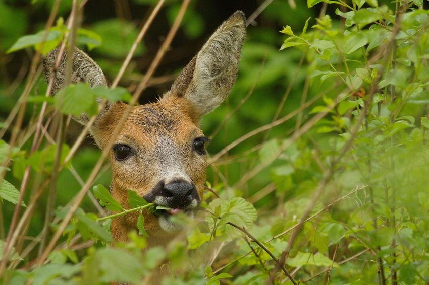 Animal Head  Animal Themes Beauty In Nature Biesbosch Close-up Green Nature Outdoors Portrait Ree Reegeit Roe Deer Wildlife Wildlife & Nature Wildlife Photography Wildlifephotography