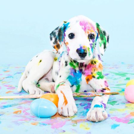 How cute!!>< Dog Pets Cute Puppy Multi Colored Blue Sitting Portrait Party - Social Event No People Beagle Day