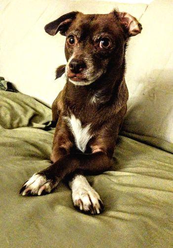 pondering.... Attitude Pets Portrait Dog Sitting Looking At Camera Close-up Chihuahua At Home Pampered Pets