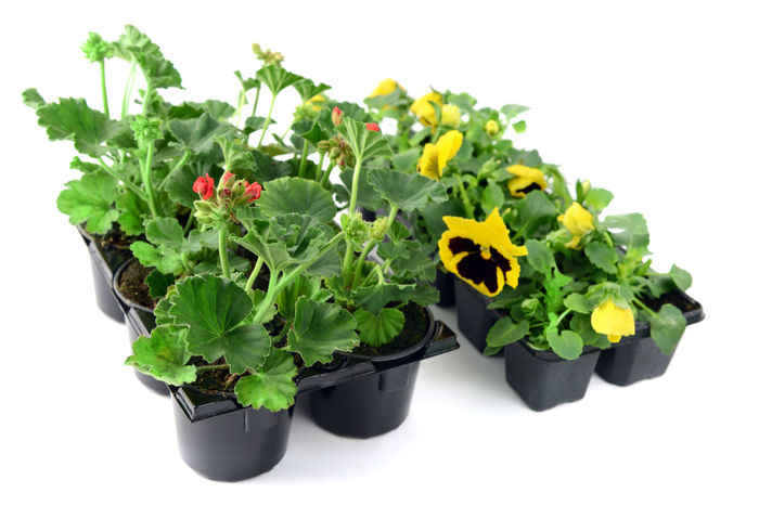 two boxes of pansy and geranium flowers. tray. gardening. Shopping ♡ Garden Centre Red Flower Garden Tools Isolated White Background Gardening Isolated Flowerpot Geranien Geranium Pansy Pansy Flower Box Tray