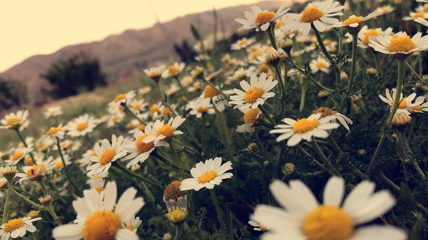 Flowering Plant Flower Plant Freshness Beauty In Nature Vulnerability  Fragility Growth Selective Focus Day No People Field Inflorescence Nature Petal Outdoors Close-up Flower Head Daisy Land