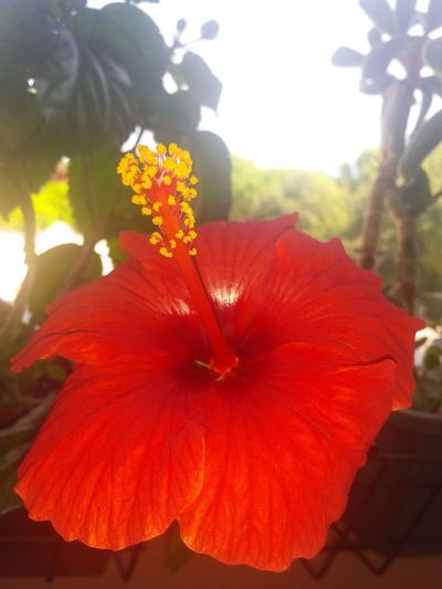 Flower Petal Flower Head Freshness Red Close-up Fragility Beauty In Nature Hibiscus Vibrant Color In Bloom Season  Stamen Springtime Growth Focus On Foreground Selective Focus Botany Blossom Nature EyeEm Best Shots Nature Beauty In Nature EyeEm Nature Lover EyeEm Gallery