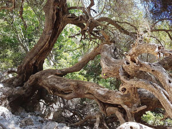 The Lovers' Tree - Tree Trunk Tree Single Tree Olea europaea subsp. oleaster