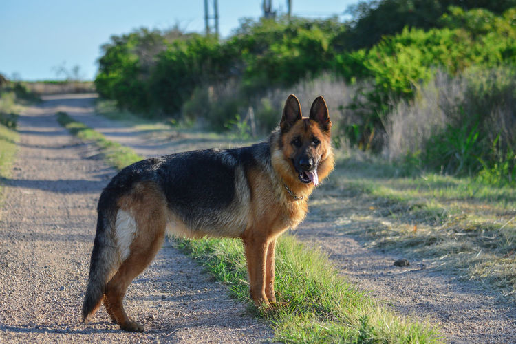 Dog Pets German Shepherd Domestic Animals One Animal Animal Portrait Outdoors Cute Animal Themes Grass Mammal Looking At Camera No People Day Happiness Ear Beauty Nature Sky