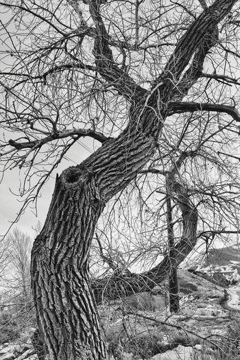 Tree Blackandwhite Knarled Nature