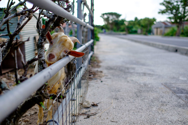 Portrait of goat behind fence by street