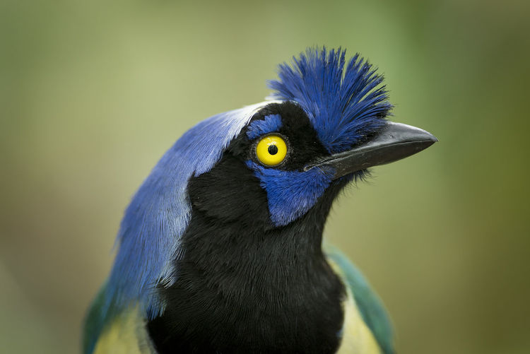 An Inca Jay from the mountains close to the llanos region of Colombia. Colombia EyeEmNewHere Nature Animal Animal Eye Animal Wildlife Animals In The Wild Beauty In Nature Biodiversity Bird Blue Close-up Incidental People Jay Looking Naturaleza Nature No People One Animal Wildlife