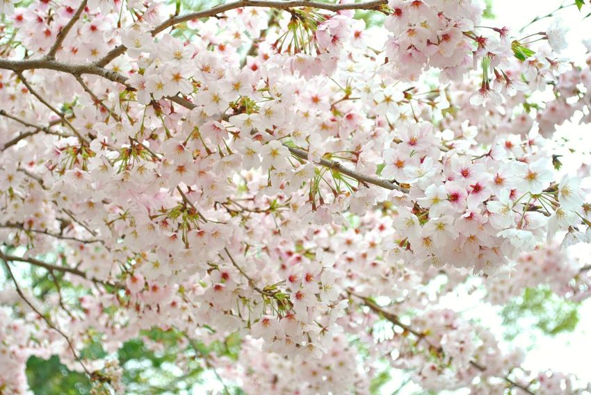 Backgrounds Beauty In Nature Blossom Botany Branch Cherry Blossom Cherry Tree Close-up Day Flower Flower Head Fragility Freshness Growth Low Angle View Nature Outdoors Petal Pink Color Sakura Blossom Sakura Tree Springtime Tree White Color The Great Outdoors - 2017 EyeEm Awards The Street Photographer - 2017 EyeEm Awards