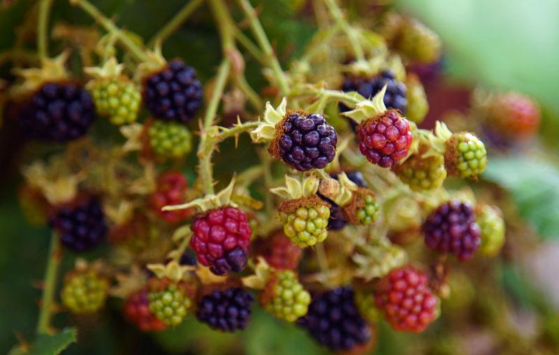 Close-up of unripe blackberries growing on tree