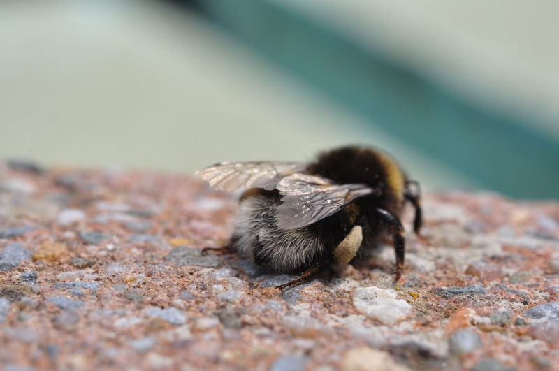 Close-Up Of Bee On Stone