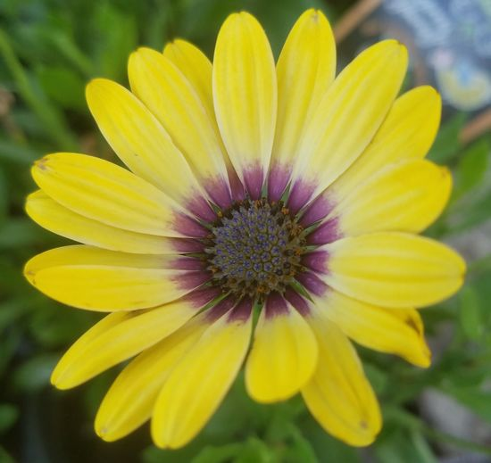 African daisy Flower Petal Fragility Yellow Flower Head Plant Freshness Nature Botany Beauty In Nature Growth Blossom Day Close-up Purple Outdoors Focus On Foreground Pollen Springtime No People African Daisy Daisy Flower Daisy 🌼 Daisy Paint The Town Yellow The Great Outdoors - 2018 EyeEm Awards In Bloom
