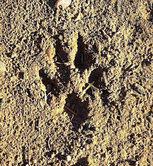 While exploring the trails at the East Wetlands, a few mornings ago came across this small track, I think it may be from a small fox I saw a while back. Nature is so cool✨ East Wetlands, Yuma ,Az Morning Walk Wild Life Photography Beauty In Nature New Adventures IPhone Photography Enjoying Nature Me Alone Nature Walk Fox Track Close-up Nature No People Sunlight Land Day Outdoors Sand
