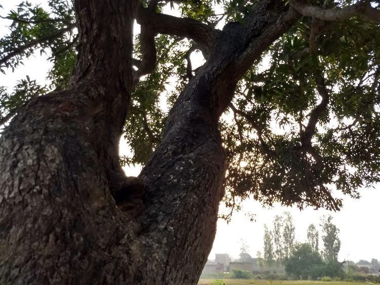 An old mango tree Mango Mango Tree Northern India Trunk Strong Tree Branch Tree Trunk Sky Close-up Plant Bark Bark Single Tree