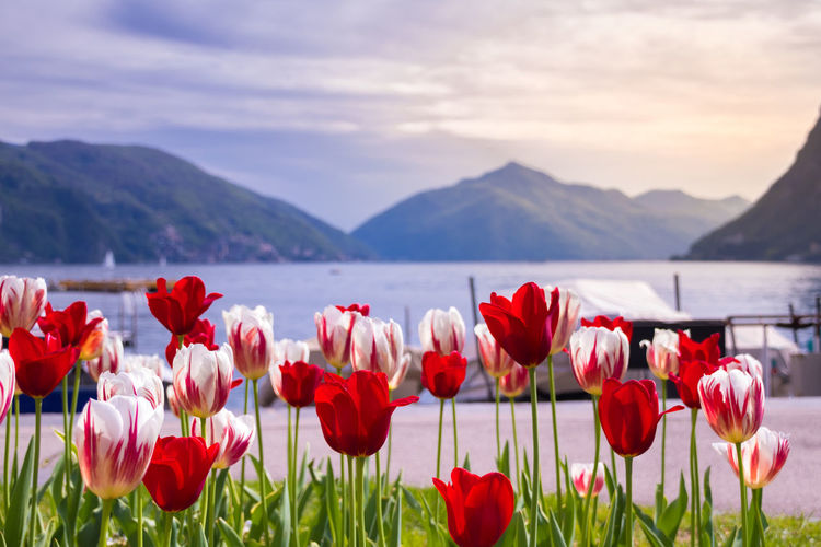 Close-up of red tulips in mountains against sky