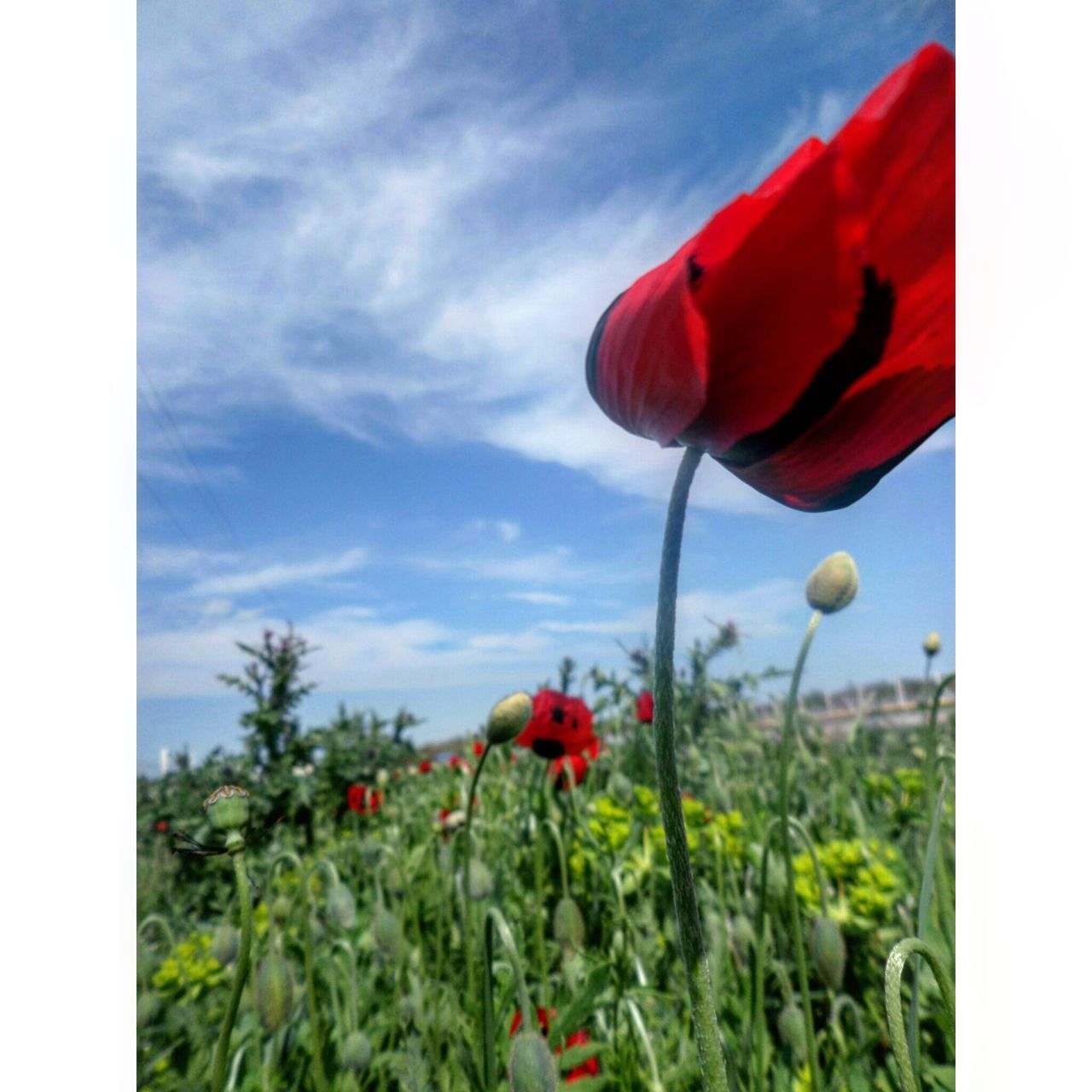 flower, red, growth, petal, beauty in nature, plant, nature, fragility, freshness, sky, poppy, no people, day, blooming, outdoors, flower head, close-up, cloud - sky, tree