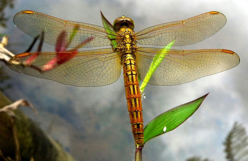 Dragonfly Animal Dragonfly Insects  Nature Anthropoda Water Lake Close Up Leaf Macro