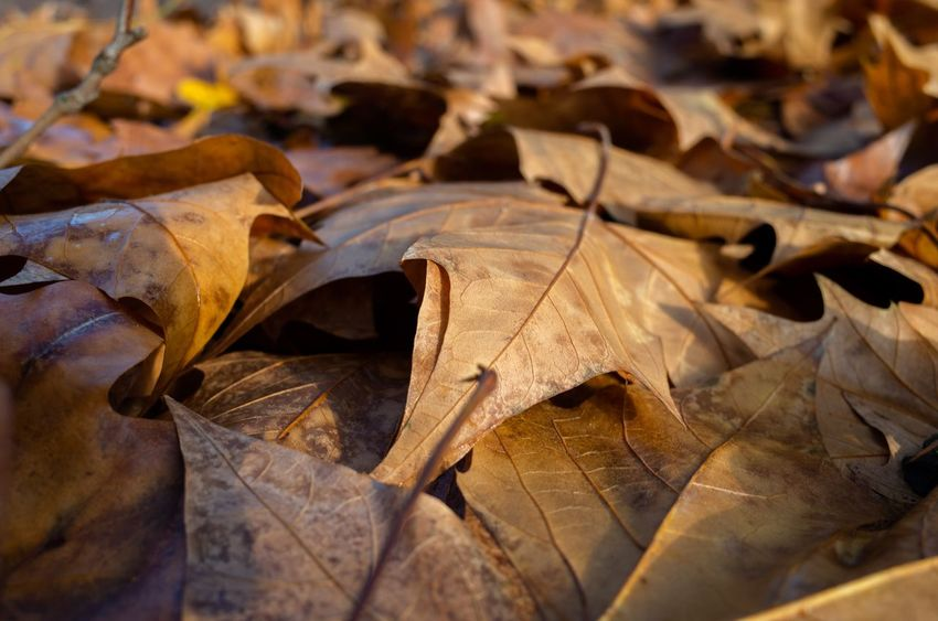 Season  London Autumn Leaves Autumn colors Autumn Leaf Change Plant Part Dry Autumn Leaves No People Close-up Focus On Foreground Beauty In Nature Outdoors Leaf Vein Nature