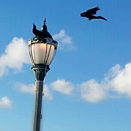 Two Crows CROWS!!!! Flying High Flying Crow Lamp Post Crow On Lamp Post Beach Photography Oceanlife