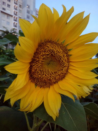 Flower Petal Flower Head Beauty In Nature Yellow Sunflower Nature Pollen Fragility Freshness Close-up Outdoors Growth Day Plant No People Seed Blooming