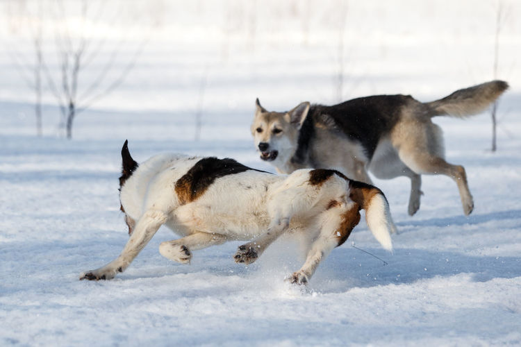 Dogs fighting on snow covered land